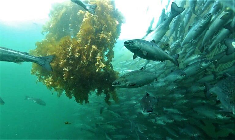 Kelpring with fish swimming around it