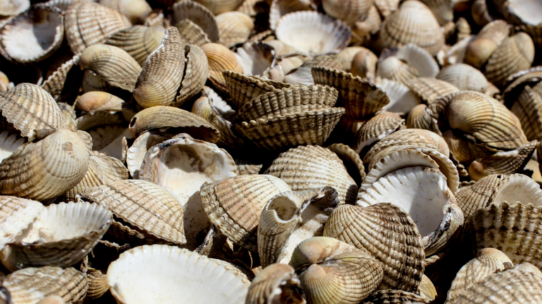 Close up image of cockle shells